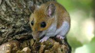 La UCLM participa en una investigación internacional que demuestra en mamíferos que los padres influyen en el sexo de sus crías