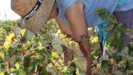 La cosecha de uva podrá ser hasta un 40% inferior a la del pasado año en La Solana